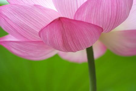 蓮の花かげ